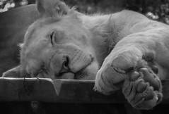 lionne (Moukette) Tags: pet pets animal animals zoo lion animaux lioness flin lionne flins