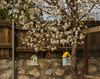 Photo of Bees and Bradford Pear 2