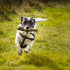 The Flying Nibbler (Mr Whites Paw Prints) Tags: dog flying running jackrussell nibbler