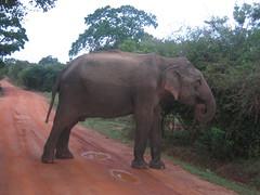 Indian Elephant Sri Lanka