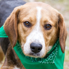 ID 648 Male Beagle 12.26.14 2 (Mary Ware) Tags: beagle shelter readytobeadopted boydcountyanimalshelter
