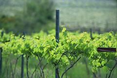 vines (maerzoo) Tags: canada color film analog vineyard vines vancouverisland cowichanbay nikonfe2 kodakektar100 nikkor135mmf28ai rockycreekwinery