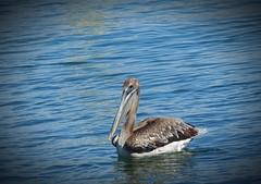 Brown Pelican (Trish Overton) Tags: ocean bird pelicans birds pelican brownpelican orangebeach