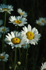 Daisies (Caretta (JWarner)) Tags: teton park camping grandtetonnationalpark nationalpark 100yearanniversary 2016 july2016 daisy daisies flowers