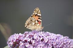 Fueling  / Auftanken (Mado46) Tags: mado46 bxl06 dortmund nrw deutschland germany nature schmetterling butterfly paintedlady distelfalter 111v1f