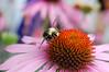 Bumblebee (Steve W Lee) Tags: bee bumblebee busybee workerbee closeupbee beemacro queenbee