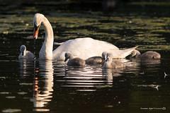 (jonathan_ed1984) Tags: brittish wildlife 2016 britishwildlife britain canon jonathanwintlephotography thenationaltrust dunhammassey waterfoul water birds pond lake spring swan cygnet cygnets swans muteswan muteswans