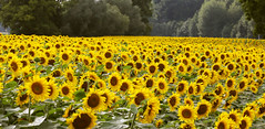 Sonnenblumen (rubrafoto) Tags: sonnenblumen sonnenblume blhendessonnenblumenfeld sonnenblumenblte sommer landwirtschaft natur blhen agrar agrarwirtschaft landwirtschaftlichenutzflche goldwrth ooe landschaft