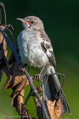 Northern Mockingbird (Mimus polyglottos) juvenile (danielusescanon) Tags: wild juvenile northernmockingbird mimuspolyglottos lakeartemesia maryland birdperfect animalplanet