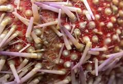 spineless (Edinburgh Nette) Tags: urchin rockpools z ribbet