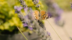 (Pelle Zoltn) Tags: butterflies nature outdoor insects flower lavender