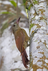 Brigida's Woodcreeper - arapaçu-de-loro-cinza - Hylexetastes brigidai