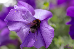 Biene auf Tauchstation (TH fotografie) Tags: flowers summer macro nature canon bokeh outdoor sommer natur pflanzen blumen bee makro tamron biene makrofotografie