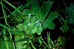 Gocce di rugiada (pasta frolla) Tags: foglie natura verde rugiada estate montagna