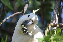 cooks-river-120716-020 (alison.klein) Tags: cockatoo australianbirds cooksriver