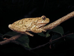 Northern Gray Treefrog (magarell) Tags: frog northerngraytreefrog hylaversicolor davidsonsmillpondpark southbrunswick middlesexcounty nj