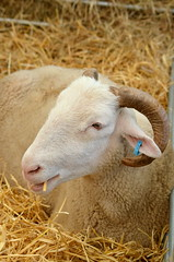 Short Straw (dhcomet) Tags: lambeth country show london brockwell park hernehill animal sheep horns