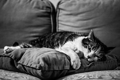 Cat's hard life (MathayJL - Offline for 2 days) Tags: hazebrouck nordpasdecalaispicardie france cat chat canon eos 1100d animal pet cushion coussin sofa fauteuil indoor pillow oreiller blackandwhite bw bnw noiretblanc portrait closeup home sleeping asleep endormi dormir serenity srnit rve dream contrast contraste happyness bonheur depthoffield feline gato katze kat kot sigma1750 digital ef35mmf2 blackwhitephotos