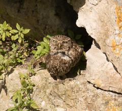Little Owl (chitsngiggles) Tags: portlandbill nature owl wildlife littleowl bird birds