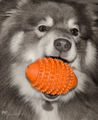 7/12/B tasku - evening ritual (sure2talk) Tags: tasku finnishlapphund eveningritual toy orange selectivecolour nikond7000 nikkor85mmf35gafsedvrmicro 12monthsfordogs 12monthsfordogs16 712b