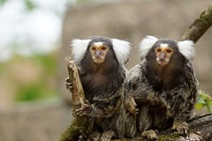 Common Marmoset family with their twins (Annette Rumbelow) Tags: old 2 twins babies play area 12 weeks maymonkeytempleeduardodaisycallithrixjacchuscommonmarmosetfamilytwinscaptive breedingsomersetoutdoor enclosureoutdoor