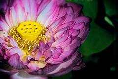 lotus (mstkeast) Tags: waterliliy lily  japan       lotus