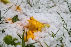 Vom Hagel hinabgerissene Lilienblten - Lily blossoms torn down by the hailstorm (riesebusch) Tags: berlin garten marzahn
