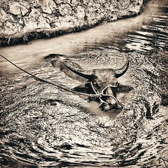 Buffalo (stromlinienbaby) Tags: travel nature water animal contrast river square buffalo rope vietnam squareformat mekongdelta hefe mekong farmlife naturephotography rainseason travelphotography iphoneography instagramapp uploaded:by=instagram