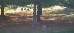 IMGP4503-1 (candiceshenefelt) Tags: morning peaceful calm deer