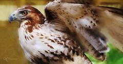 Red Tail Hawk Photo Art (dianne_stankiewicz) Tags: digitalart digitalpainting bird raptor redtailhawk hawk