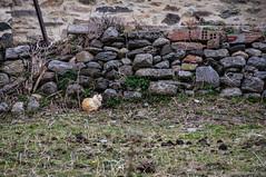 El gato triste que no era azul (SantiMB.Photos) Tags: 2blogger 2tumblr 2ig gato cat muro wall girona pirineos ripollès sal18250 valldecamprodon geo:lat=4231431376 geo:lon=237935292 geotagged invierno winter camprodon cataluna españa esp