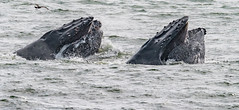 Bubble Net (PasiKaunisto) Tags: ocean california sea seascape water pacificocean whales humpback mammals humpbackwhales