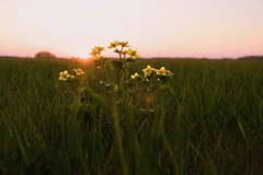 Sunset (pszcz9) Tags: sunset flower nature landscape nationalpark spring sony meadow poland polska a77 wiosna przyroda kwiat beautifulearth zachdsoca ka pejza parknarodowy