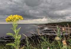 Beach Bank Flora. (CWhatPhotos) Tags: cwhatphotos flora camera photographs photograph pics pictures pic picture image images foto fotos photography artistic that have which contain olympus em10 mk ii beach blackhall rocks north east england uk coast coastal sea sky skies cloud cloudy day andandsea land green grass yellow flower dof depth field banks beachbanks