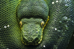 Emerald Tree Boa 42 (cypher40k Photography) Tags: color colour nikon boa emeraldtreeboa snake toronto torontozoo zoo