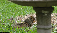 Itty Bitty Baby View 2 (Kaptured by Kala) Tags: sciurusniger foxsquirrel squirrel garlandtexas babysquirrel baby eating alone cute