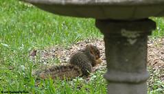 Itty Bitty Baby View 2 (Kaptured by Kala) Tags: sciurusniger foxsquirrel squirrel garlandtexas babysquirrel baby eating alone cute