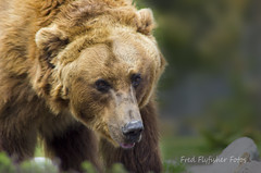 20160525_Yellowstone 2016_0841 (Fred Flyfisher Fotos) Tags: bear montana pentax grand yellowstone wyoming grizzly tetons k5 pentaxcamera pentaxian pentaxart pentaxk5