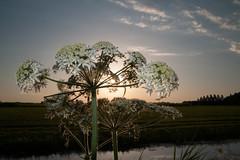 Cow parsley sunset w/ flash (PaulHoo) Tags: nature cow parsley mijdrecht holland netherlands nikon d700 evening sun sunset 2016 summer sky clouds flora