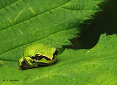 So Very Patient - Vancouver, British Columbia (Barra1man (Very Busy)) Tags: park canada green nature vancouver leaf pond britishcolumbia wildlife amphibian olympus frog patient foliage tiny treefrog brambles timing jerichopark olympusem1