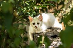 White beauty (annfrau) Tags: kitty cat gatto white micio piccolo tiny