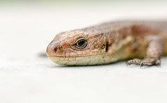Viviparous Lizard (Peter Quinn1) Tags: lizard commonlizard viviparouslizard creagmeagaidh highlands scottishnaturalheritage nationalnaturereserve