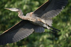 Close Encounter (Plummerhill) Tags: heron blueheron flying muscatatucknwr indiana summer morning
