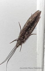 Caddisfly (Trichoptera) (July 27, 2016) (2 of 3) (Andre Reno Sanborn) Tags: trichoptera caddisfly barton vermont unitedstates