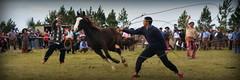 Pialando potros (Eduardo Amorim) Tags: cavalos caballos horses chevaux cavalli pferde caballo horse cheval cavallo pferd cavalo cavall     crioulo criollo crioulos criollos cavalocrioulo cavaloscrioulos caballocriollo caballoscriollos argentina sudamrica sdamerika suramrica amricadosul southamerica amriquedusud americameridionale amricadelsur americadelsud eduardoamorim gaucho gauchos gacho gachos pialo pialada pealo pealada pasodeloslibres corrientes provnciadecorrientes corrientesprovince