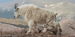 Nursing Is Over! (OJeffrey Photography) Tags: mountaingoats mountaingoatkid wildlife wildanimals coloradorockymountains colorado co panorama pano nikon d500 ojeffrey ojeffreyphotography jeffowens wow