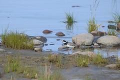 Ringed plover (Tuomo Nyknen) Tags: charadriushiaticula tylli plover common commonringedplover ringedplover suomenlinnut finnishbirds