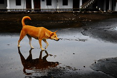 ,, The Stalker ,, (Jon in Thailand) Tags: roof reflection thedogpalace dog mama k9 stalking stalker jungle nikon nikkor d300 175528 tail nose eyes game fun theboss paws littledoglaughedstories