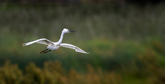 Little Egret - Leighton Moss (irelaia) Tags: leightonmoss rspb rspbleightonmoss pose flight littleegret