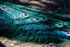 feathers (kevin.boyd) Tags: beacon hill park victoria bc canada fauna fowl feather feathers peacock iridescent iridescence